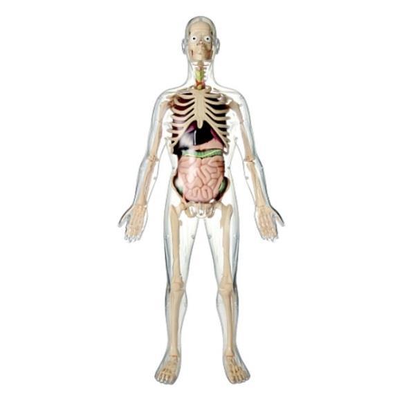 Edu Science Przezroczysty model człowieka 56cm